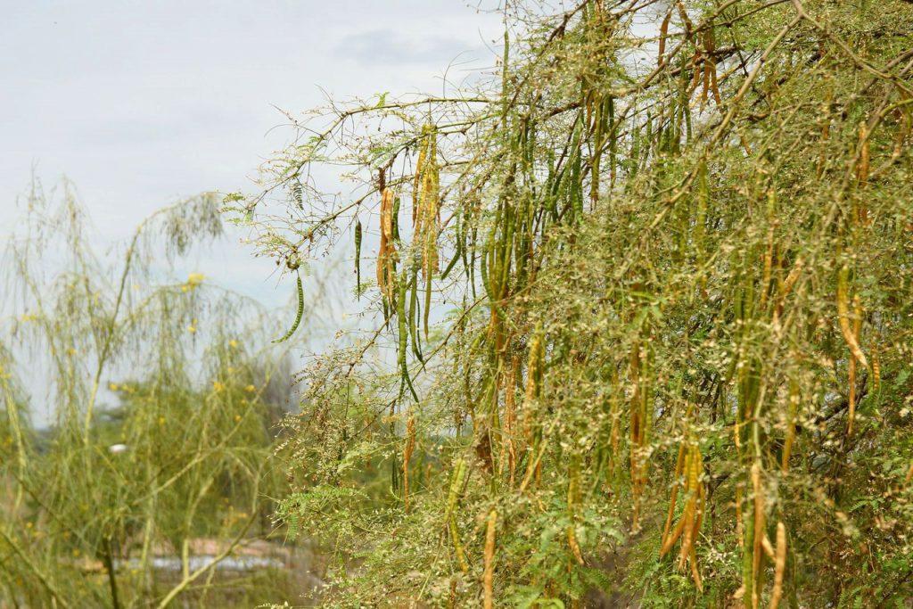 ペルーの海岸部に育つアルガロボの木。鞘が黄色く色づき始めています